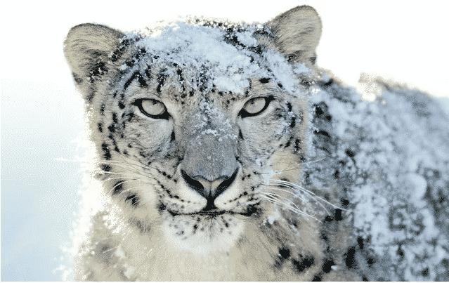 snow-leopard-chrome-theme